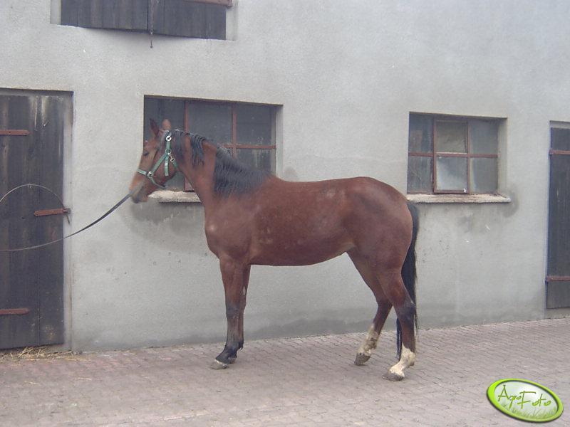 Koń rasy wielkopolskiej