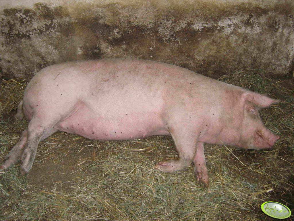 Godzina przed świniobiciem :(