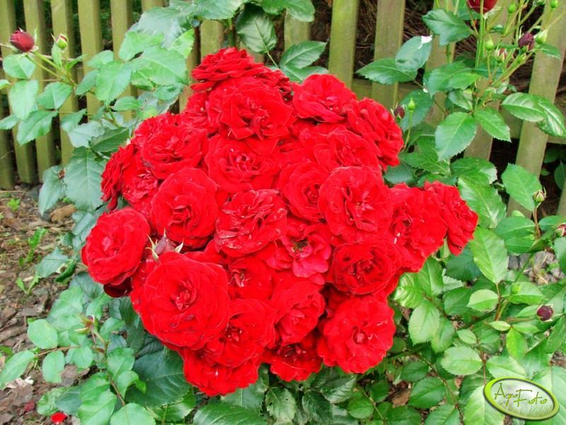 Bukiecik róż naturalny