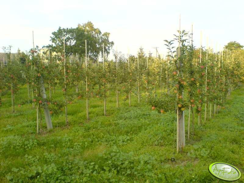 Mlode jabłonie