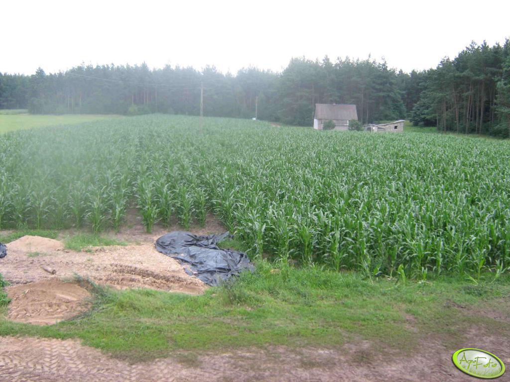 Kukurydza 2007