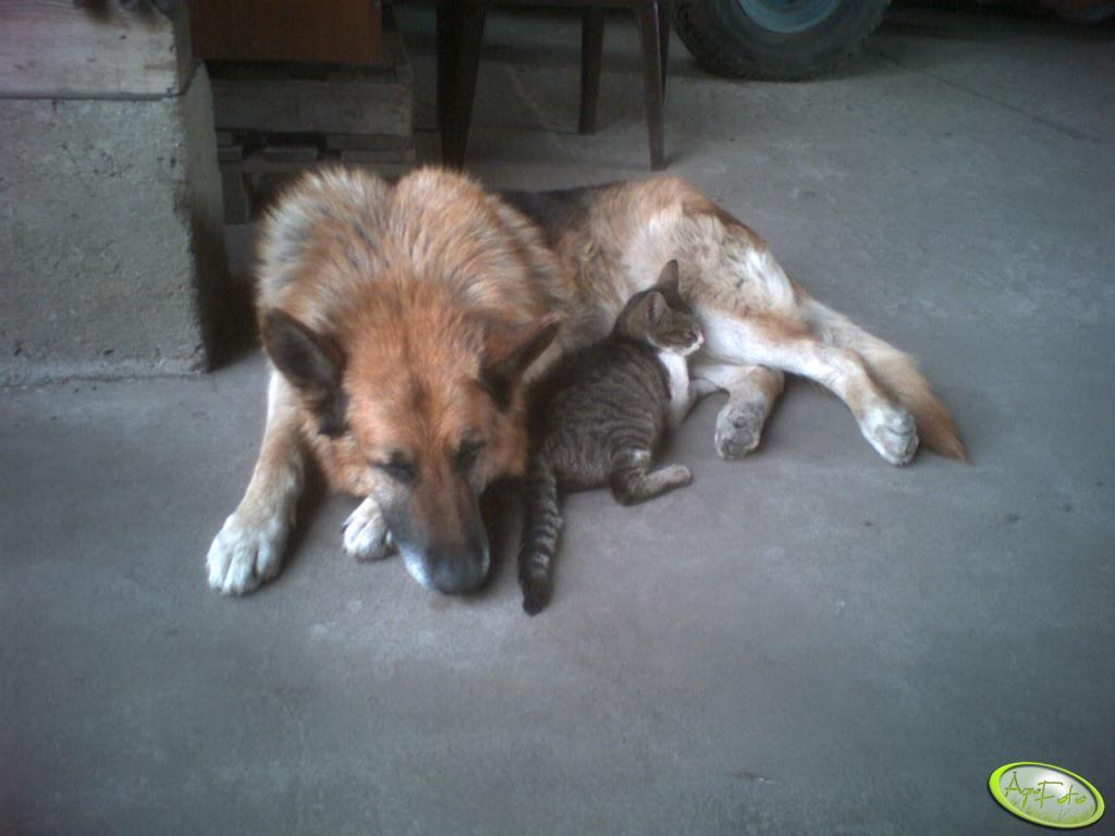 owczarek z kotkiem :)