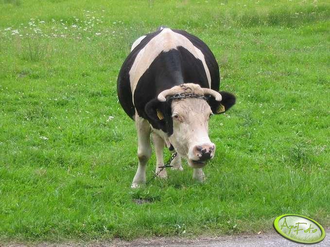 krowa od wujka
