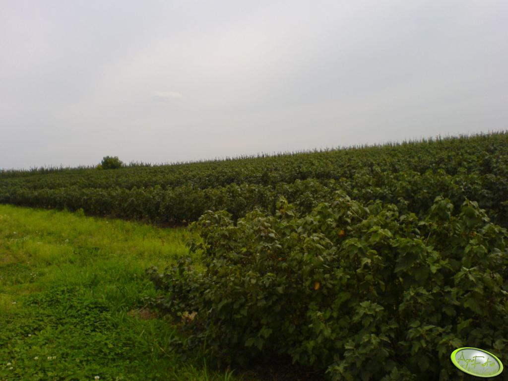 Porzeczkowe pole