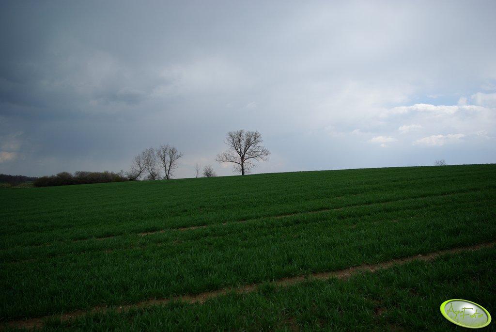 Pszenica torres 13.04.2008