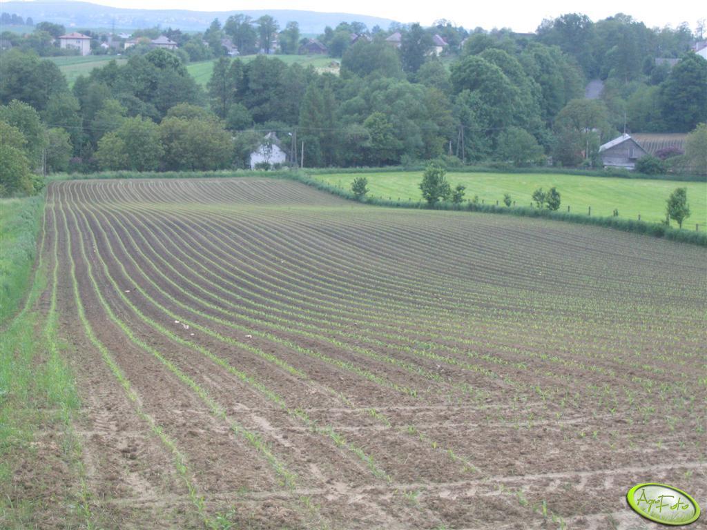 wschodząca kukurydza