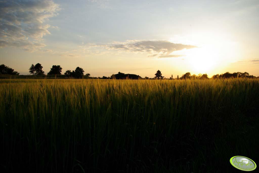 Jęczmień jary o zachodzie słońca