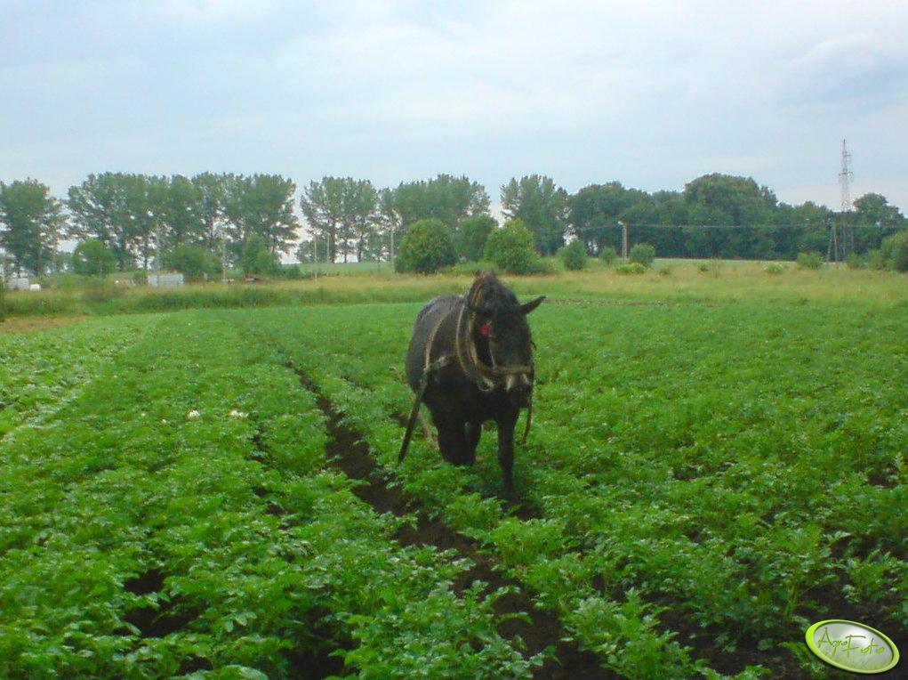 Ciośka w kartoflach