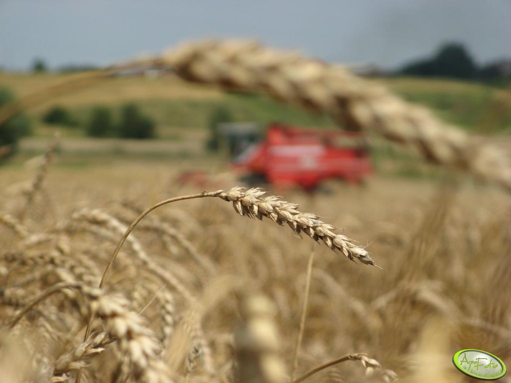 Klos pszenicy na tle MF 665