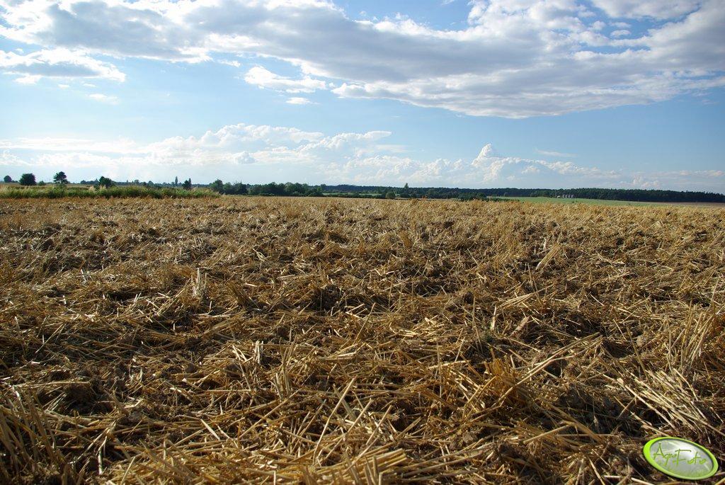 Ściernia pszenna po przejeździe talerzówki