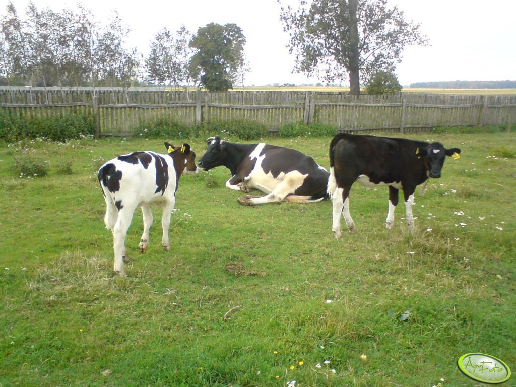Krowa i jałówki