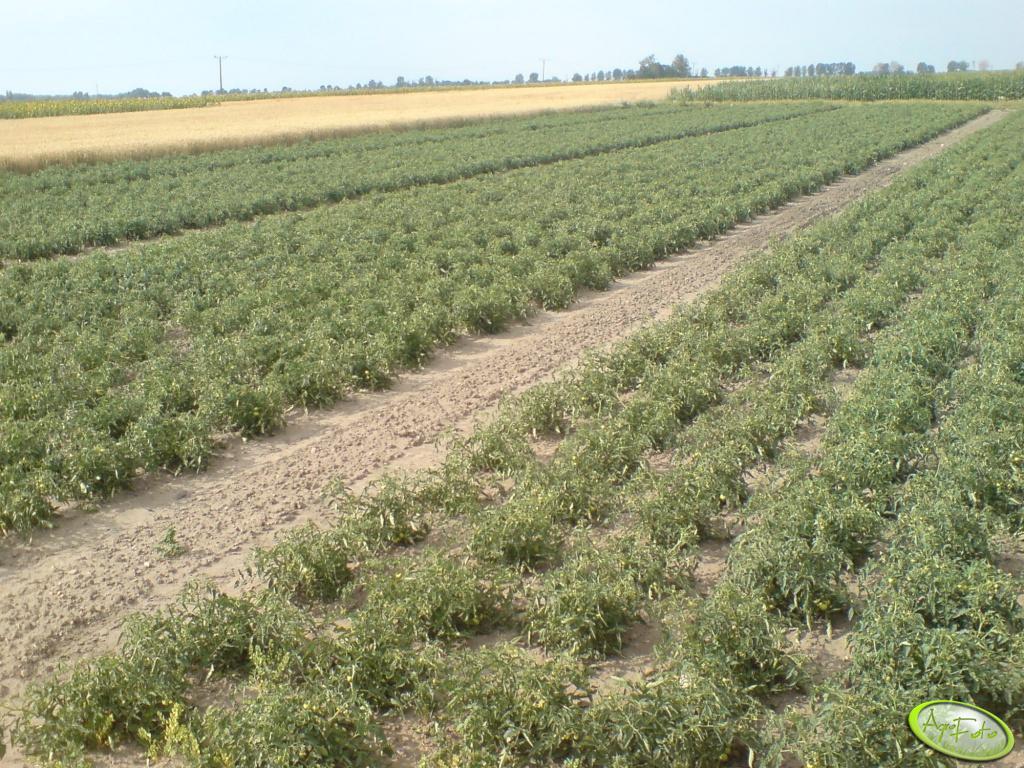 Plantacja pomidora