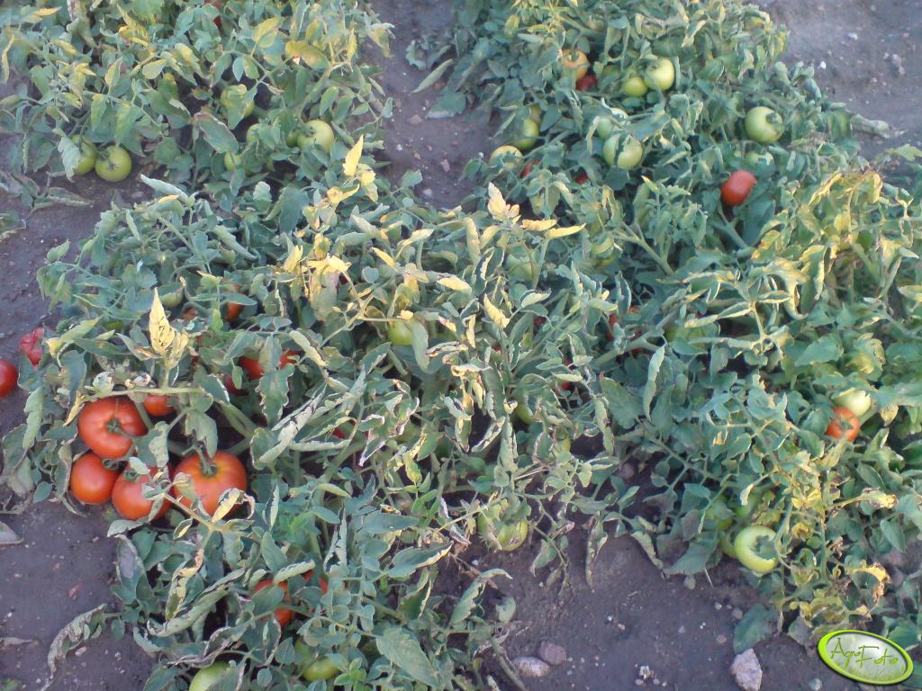 Pomidor Hector na krzaku
