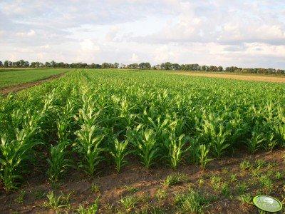 Kukurydza po Jeczmieniu ozimym