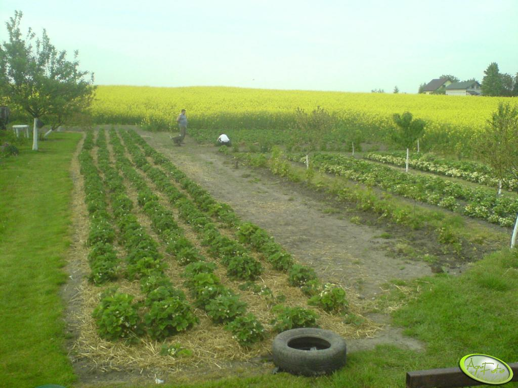 Rzepak i truskawki