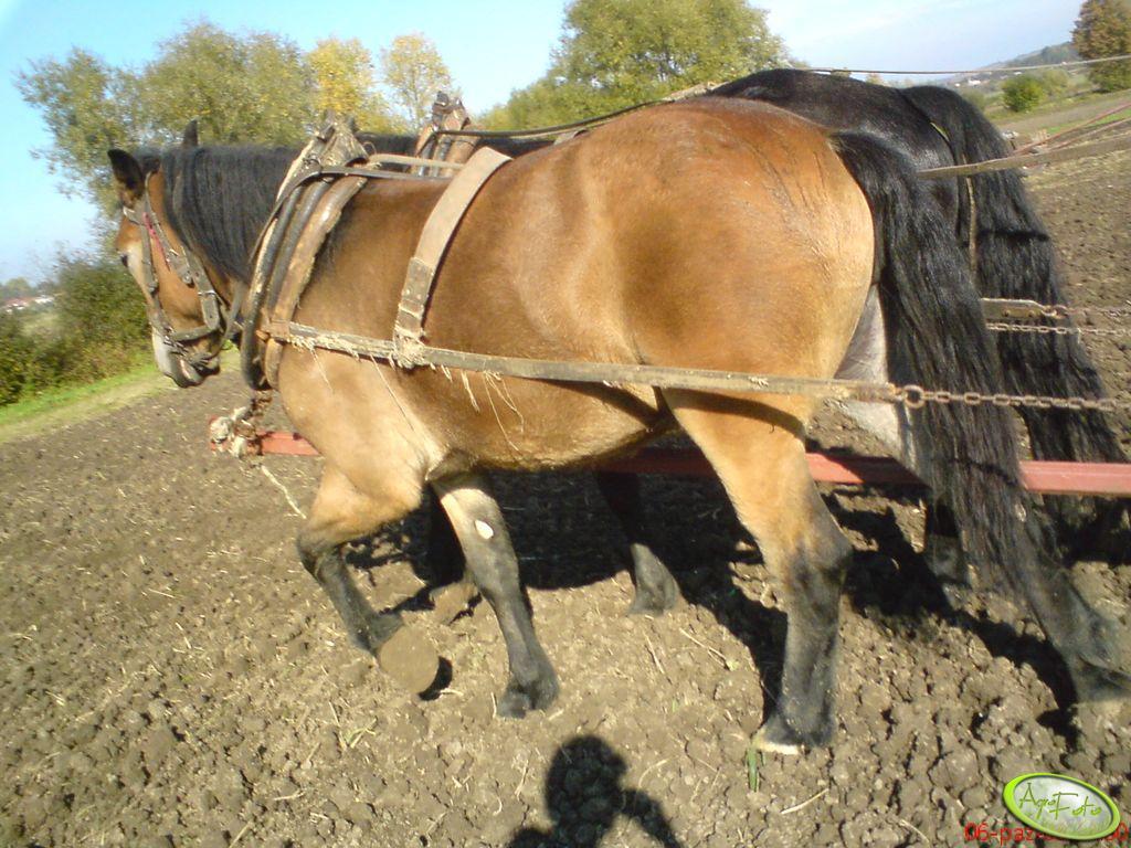 Konie - siew