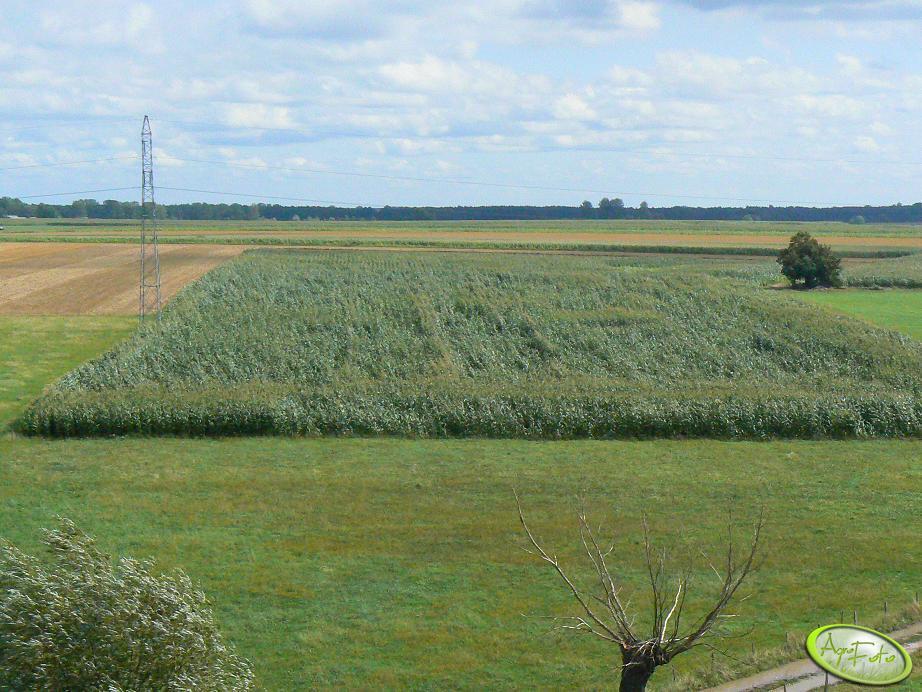 Pole kukurydzy po sierpniowym wiaterku