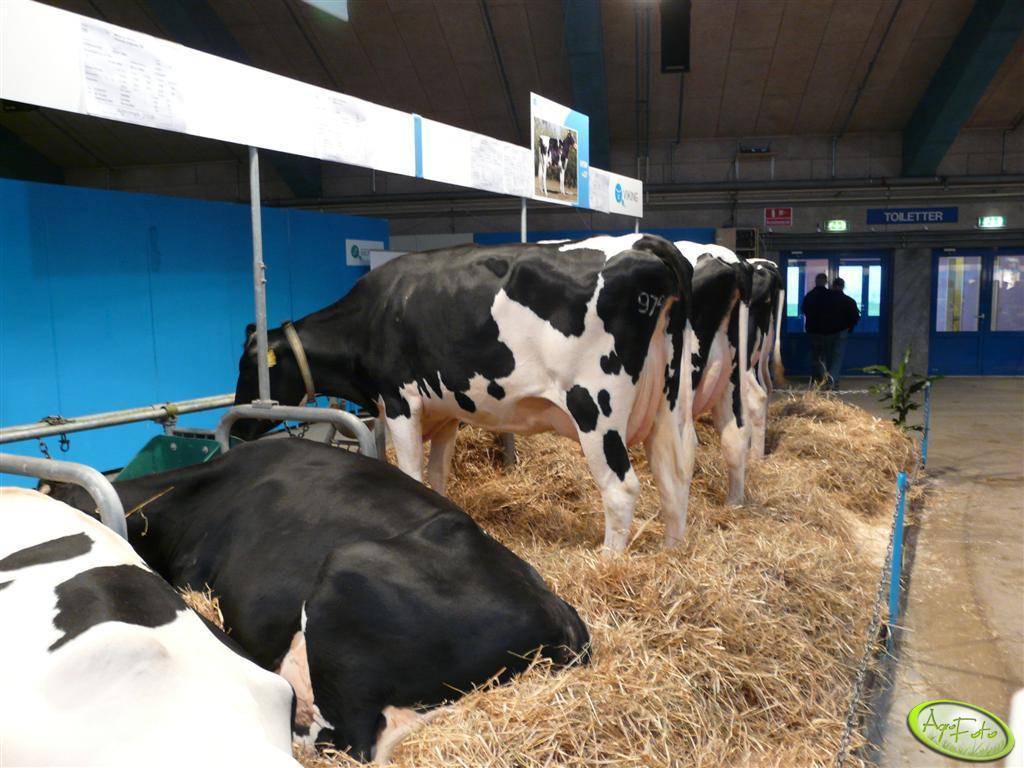 Wystawa krow mlecznych