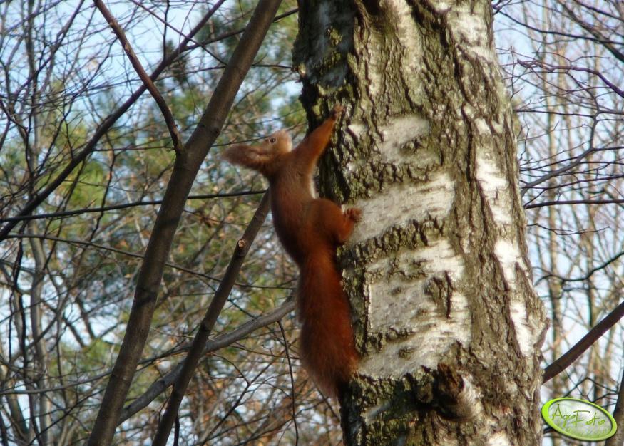 Wiewiórka na brzozie
