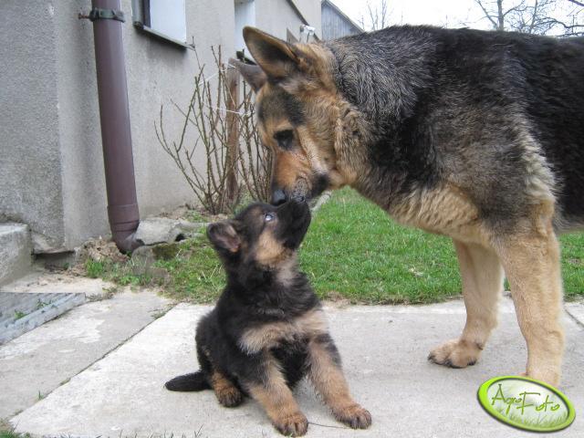 Pies Reksio oraz Aza