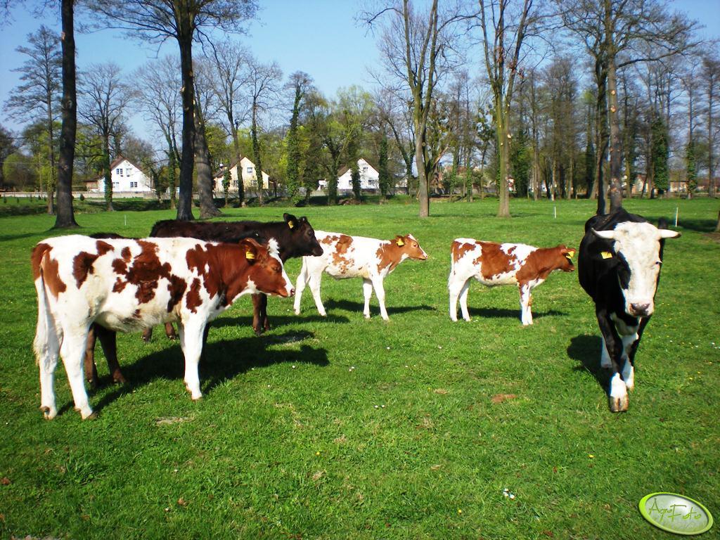 Krowa z jałówkami