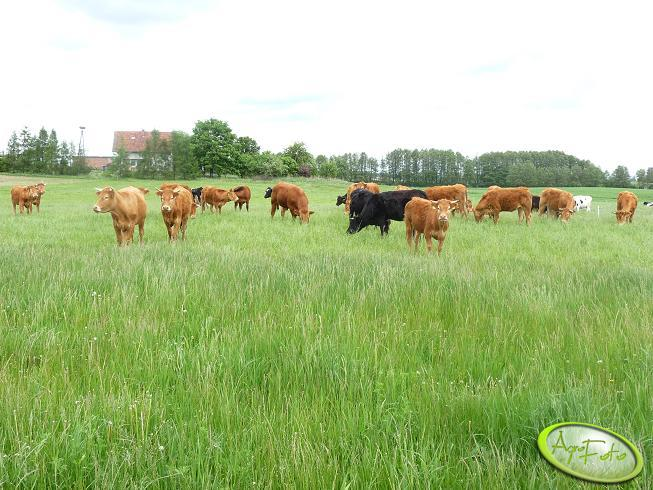 Krowy Limousine