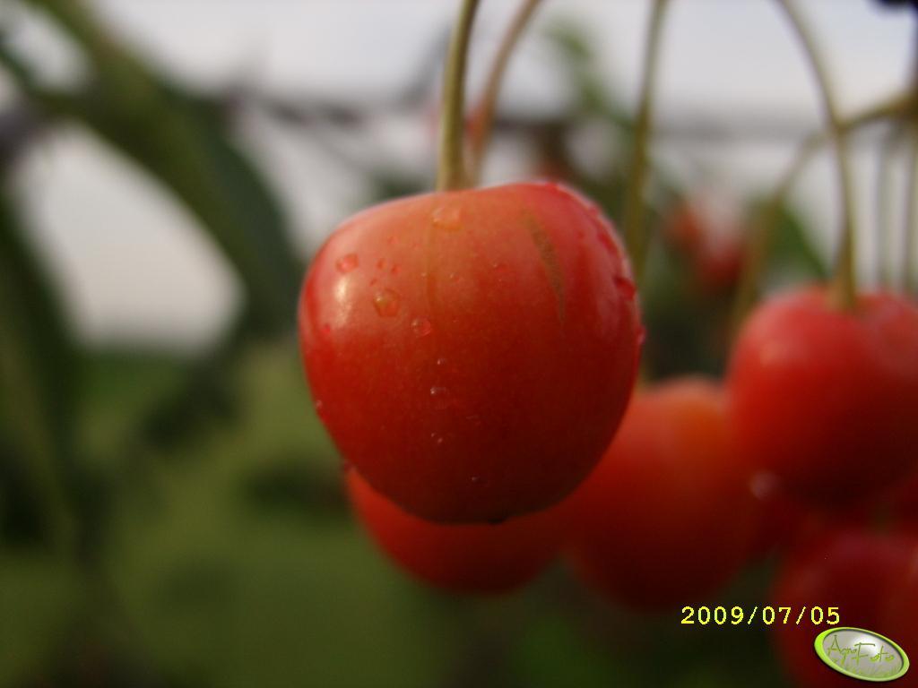 Czereśnia