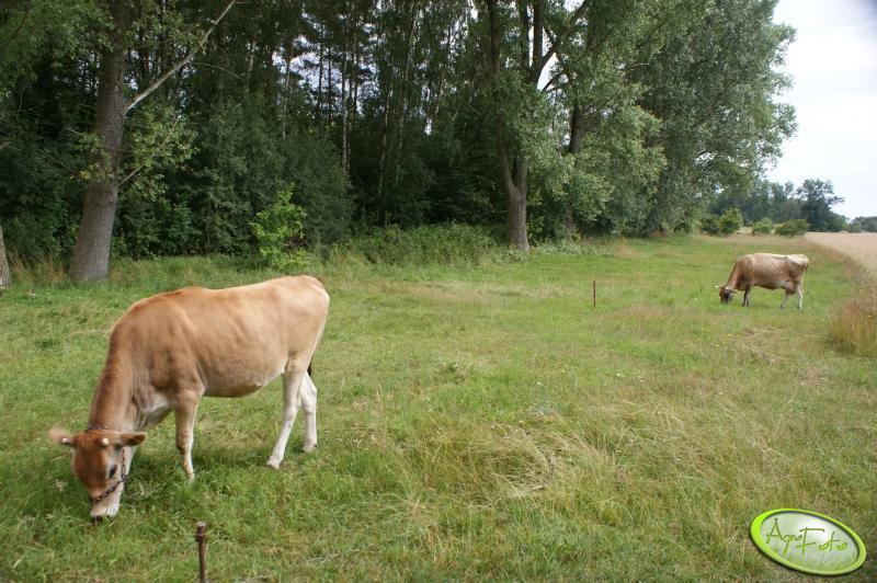 Jałówka i krowa Jersey
