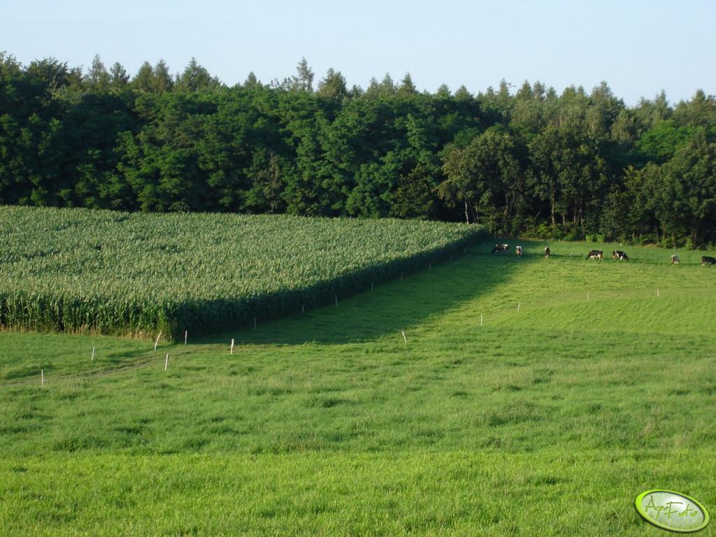 Kukurydza 2009