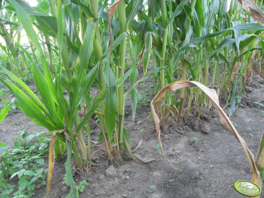 Rozkrzewiona kukurydza