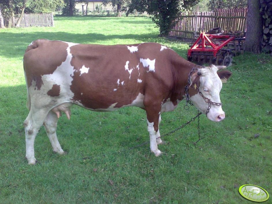 Krowa Rasy Simentalskiej