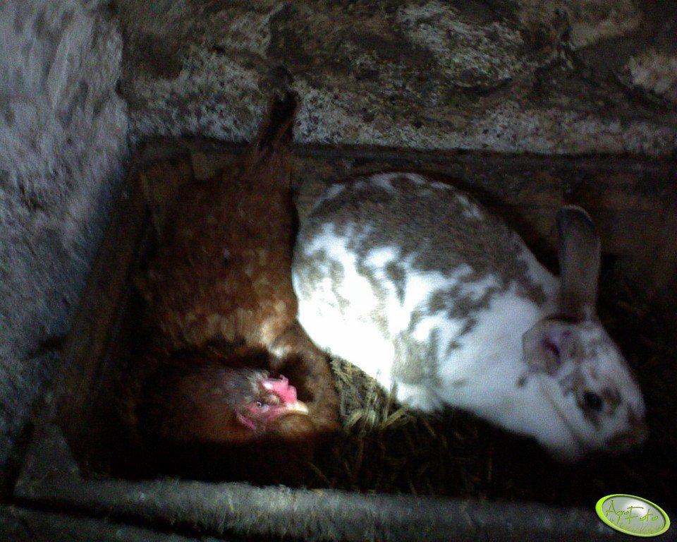 Kurka i króliczek