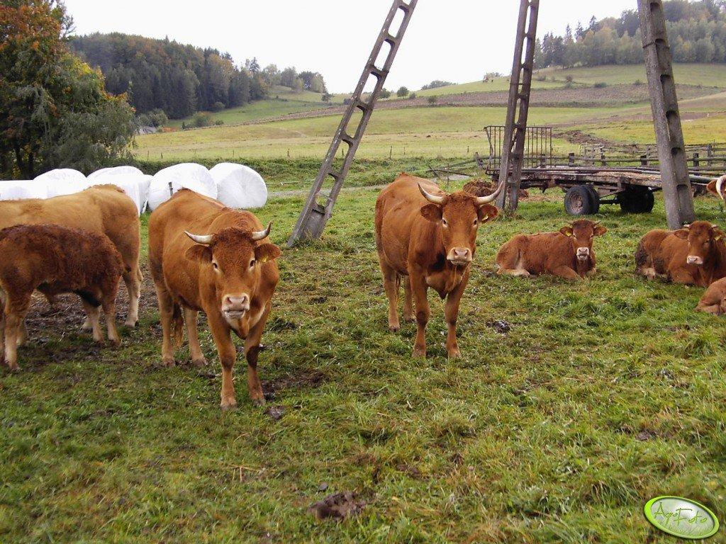 Krowy LM