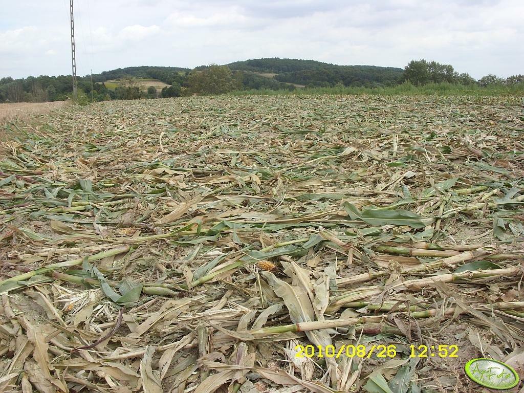 Kukurydza - ściernisko