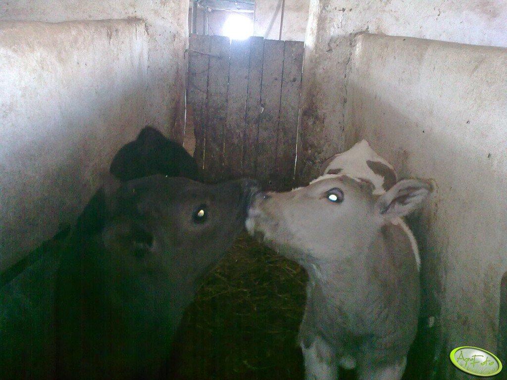 Byczek i jałoszka