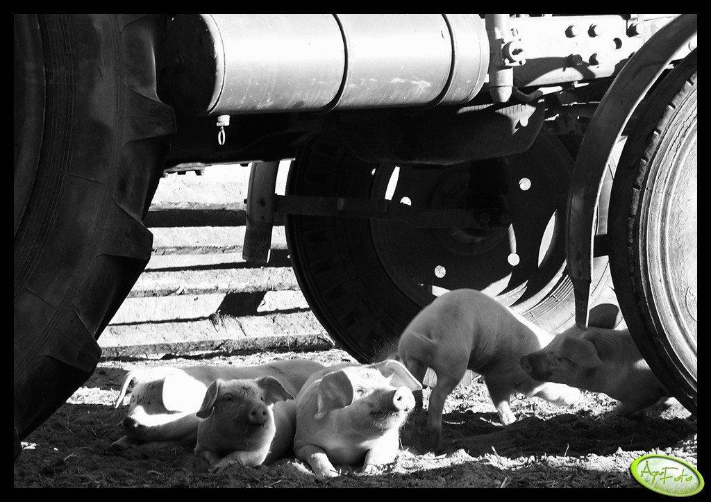 Prosiaki i traktor