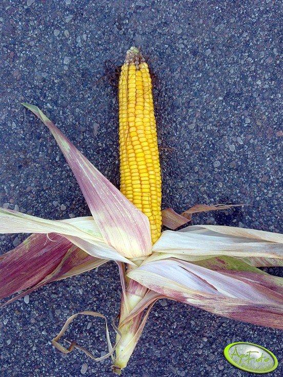 Kolba kukurydzy Bułat