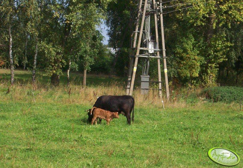 Krowa z jałówką