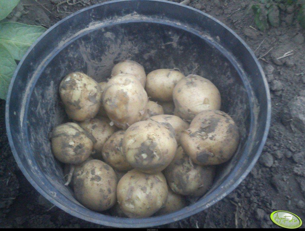 Ziemniaki wczesne Orlik