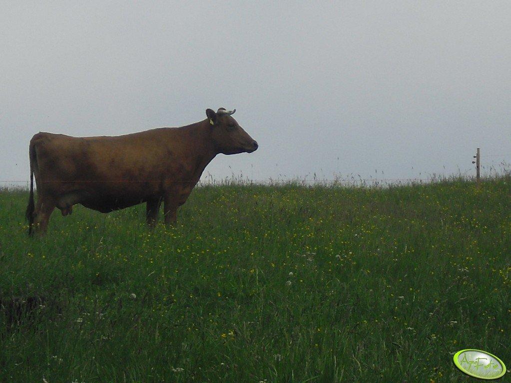 Krowa RP