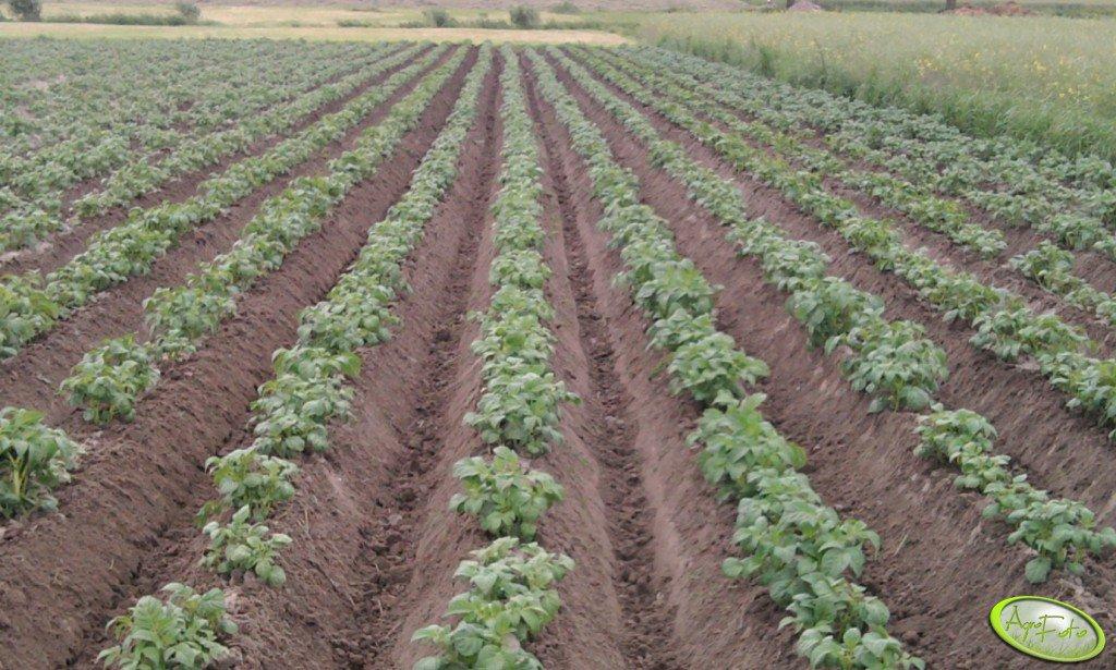 Ziemniaki 2012