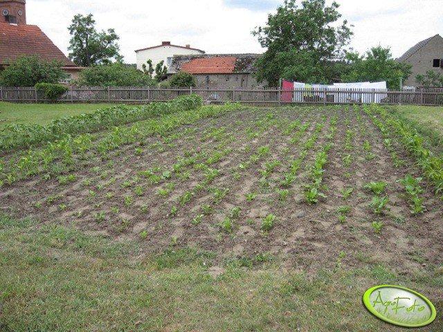 Buraki, kukurydza i słonecznik