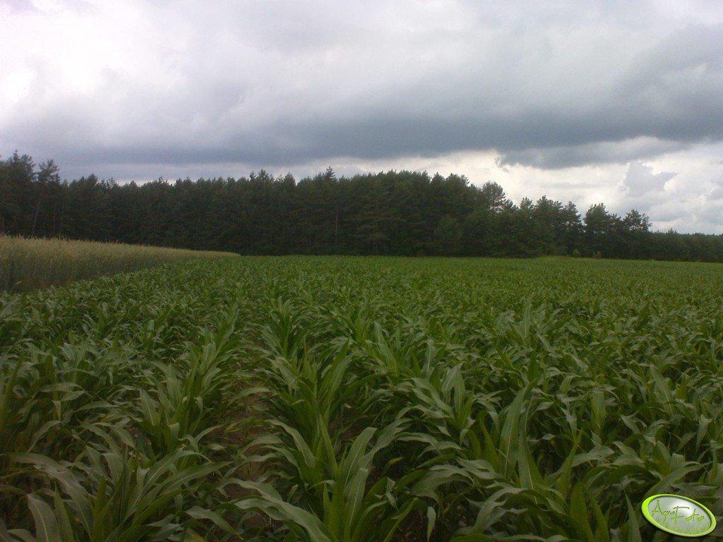 Kukurydza odmiana Dumka