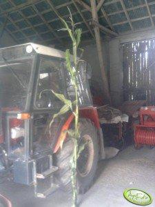 Kukurydza Monsanto 3399