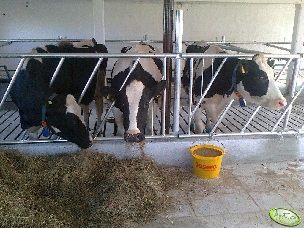 Obora na krowy zasuszone