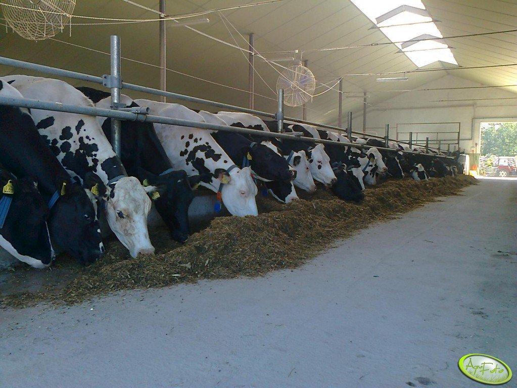 Krowy dojne