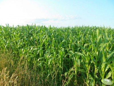 Kukurydza Ułan, Subito