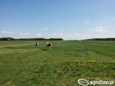 Krowy na pastwisku [2]