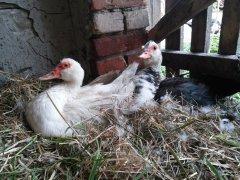 Dwie kaczki wysiadujące jaja