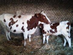 Krowa i jej córka